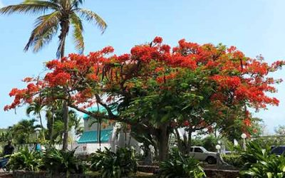 Flamboyant Trees Inspire Tropical Art, Music, and Song