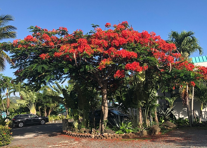 a flamboyant tree is in bloom with bright red flowers crowning the top of the umbrella like tree